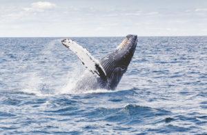 En algunas épocas, las ballenas llegan a Jeffrey's Bay para dejar sus crías